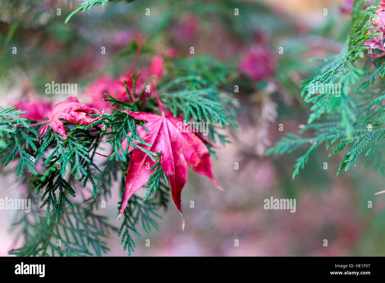 Pink pine needles stock photos pink pine needles stock images alamy closeup of pink maple leaf on coniferous pine tree with fallen leaves on ground stock mightylinksfo