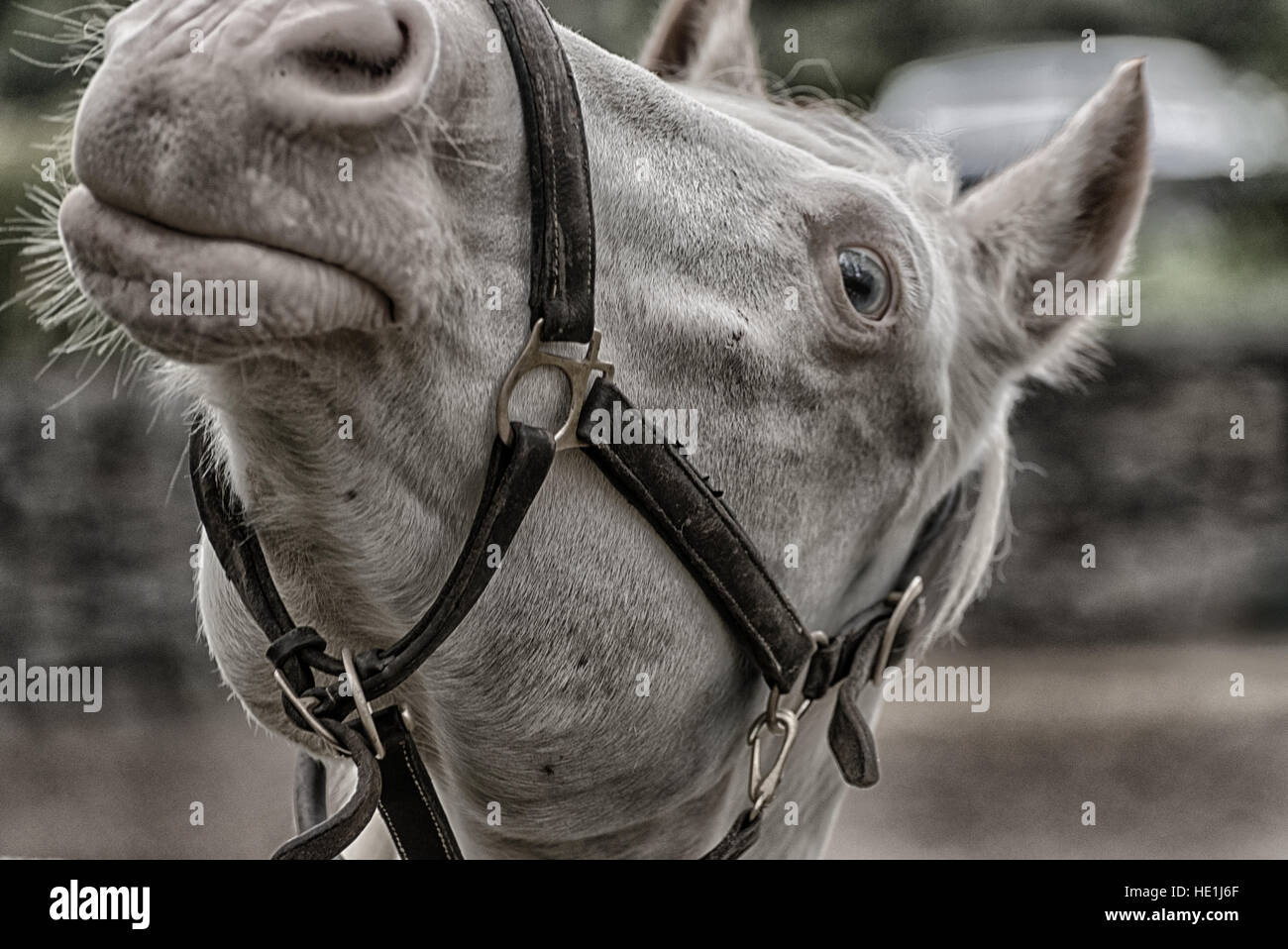 Funny expression on a tight shot of a gray horse. - Stock Image