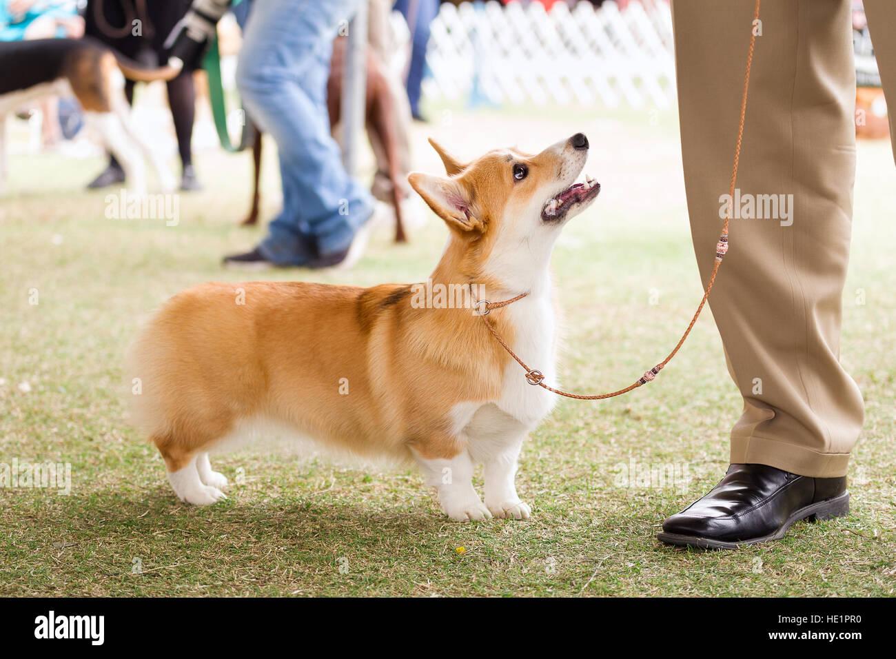 Pembroke Welsh Corgi at a dog show - Stock Image