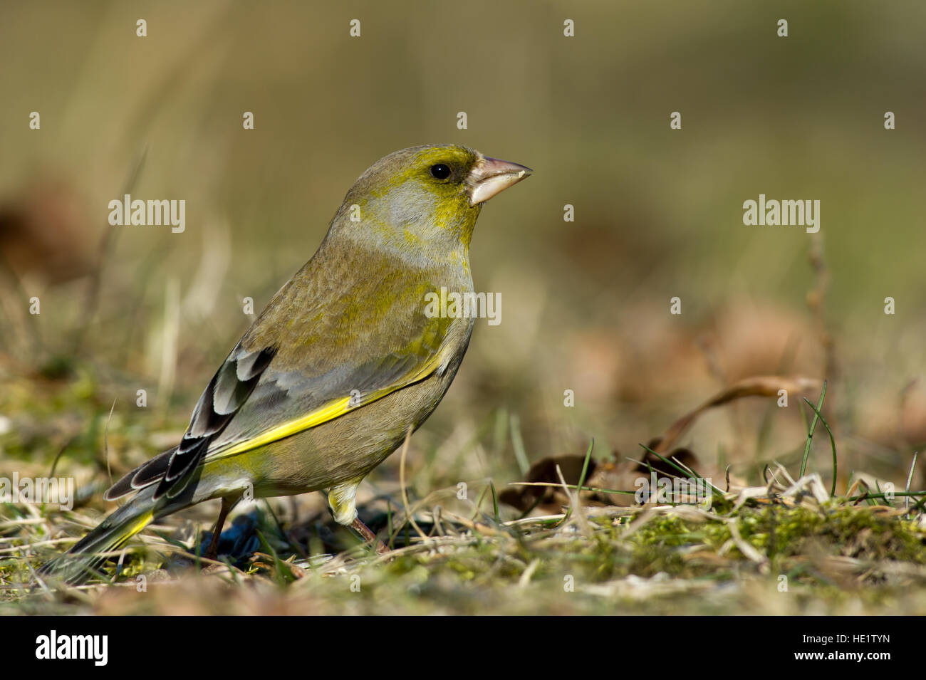 A closeup of the beautiful female Greenfinch (Carduelis chloris) watching for enemies with a nice bokeh - Stock Image
