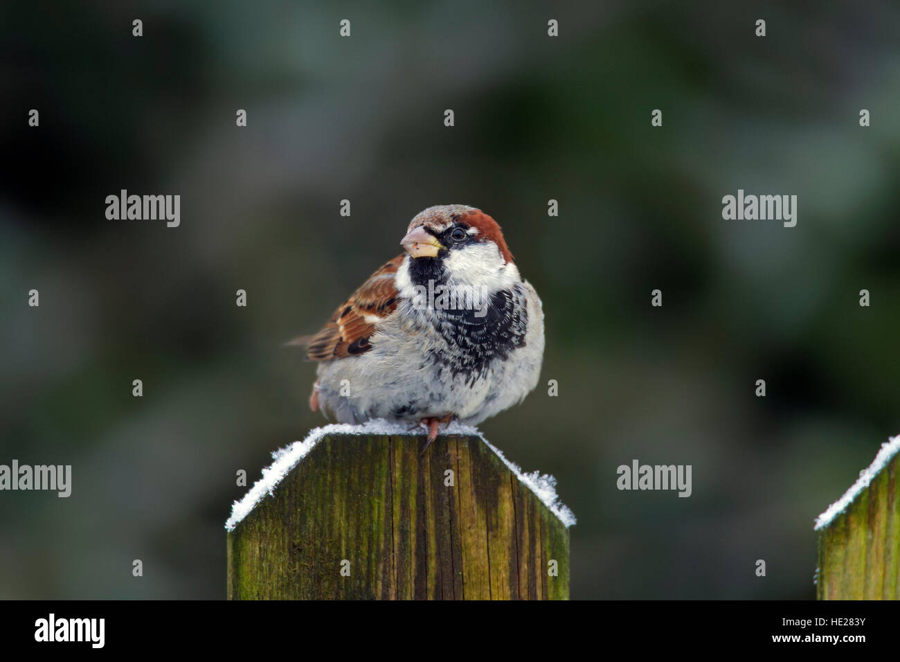 House sparrow (Passer domesticus) male perched on wooden fence post in the snow in winter - Stock Image