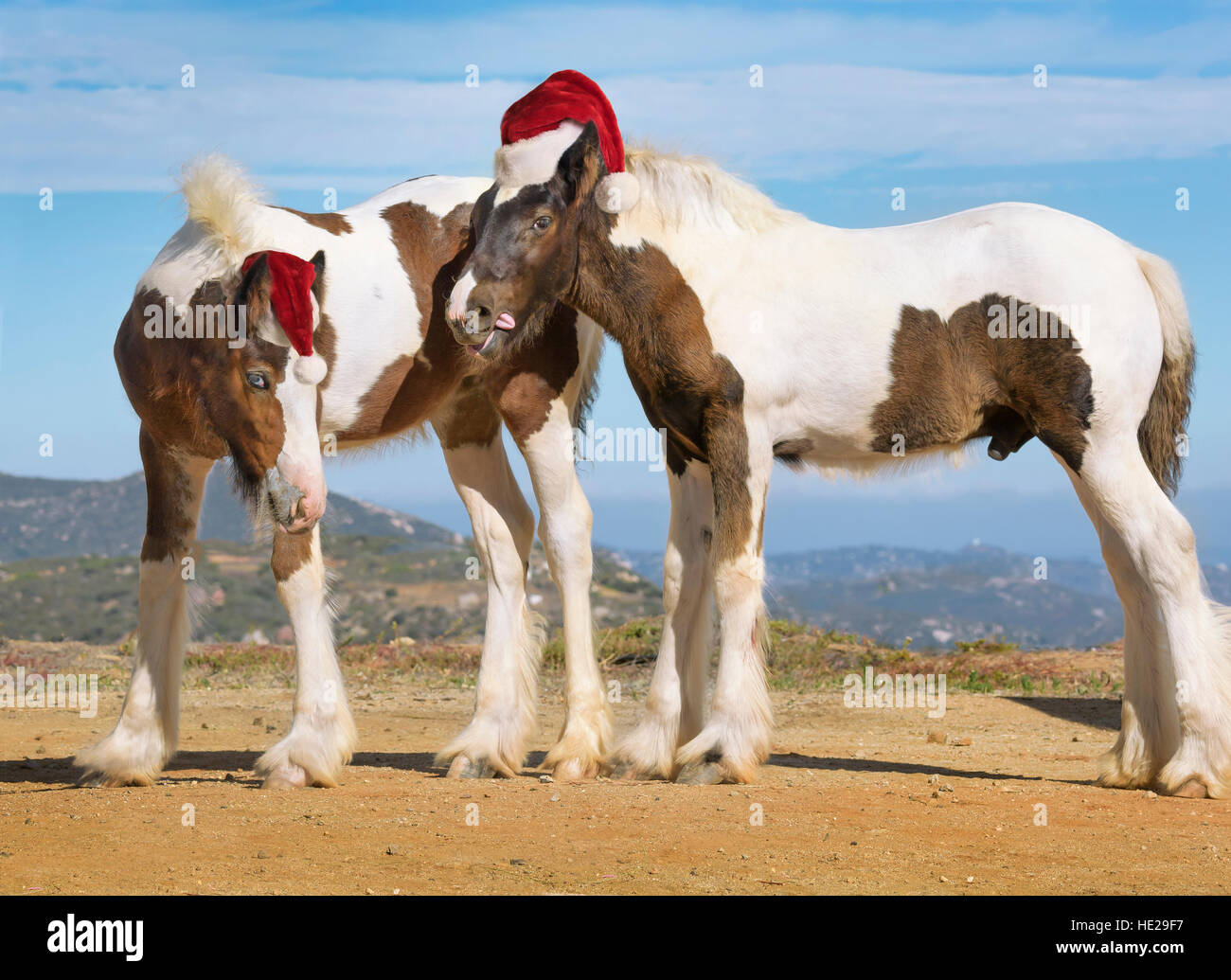 Gypsy Vanner Horse colt and filly wearing Christmas hats - Stock Image