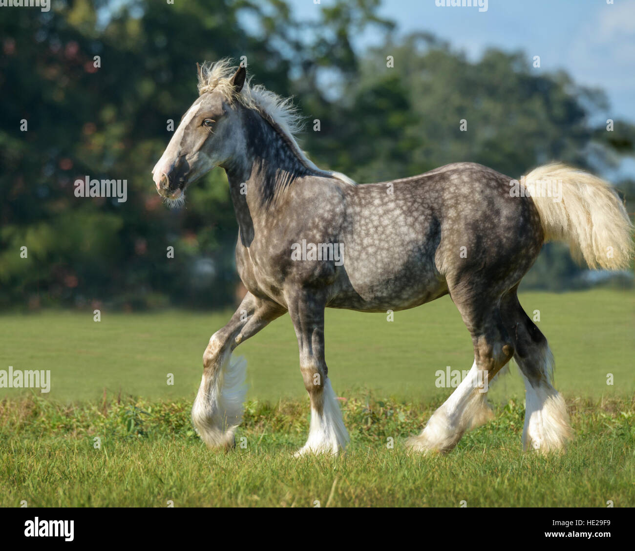 Gypsy Vanner Horse mare and colt foal - Stock Image