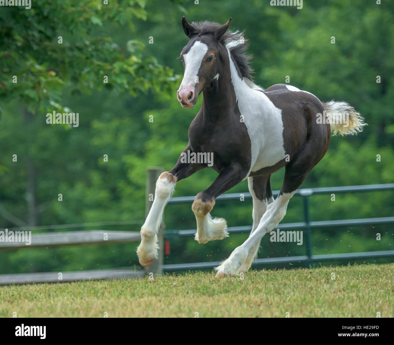 Gypsy Vanner horse weanling foal - Stock Image