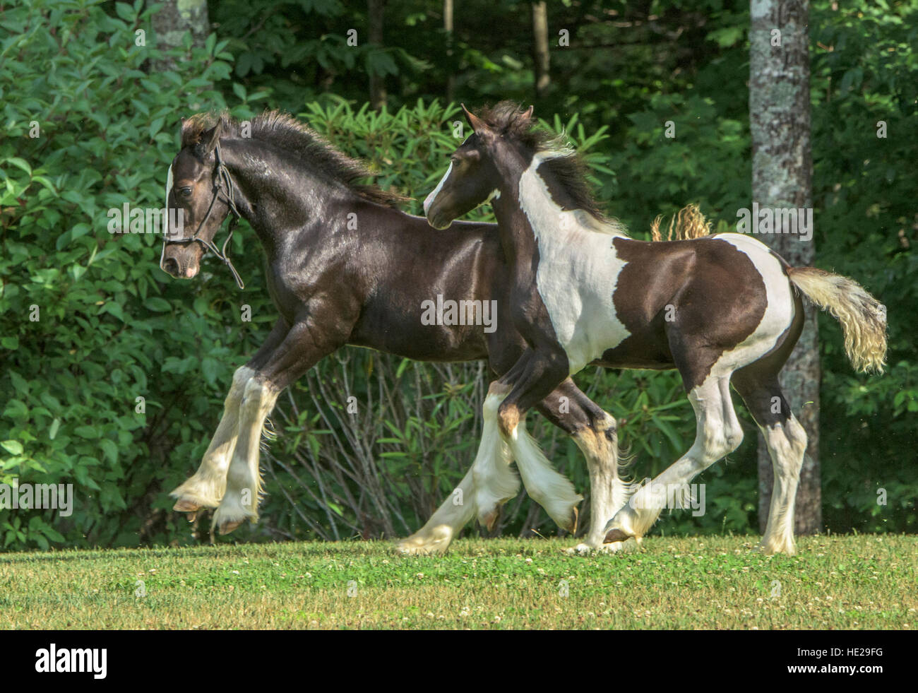 Pair of Gypsy Vanner hore weanling foals play - Stock Image
