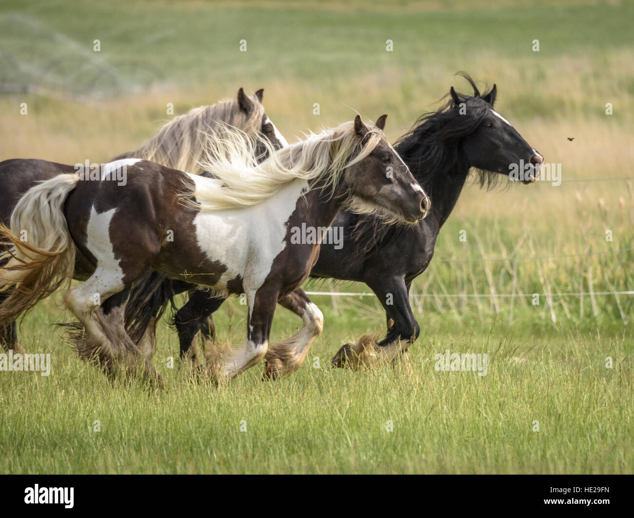 Gypsy Vanner Horses runing in tall grass - Stock Image