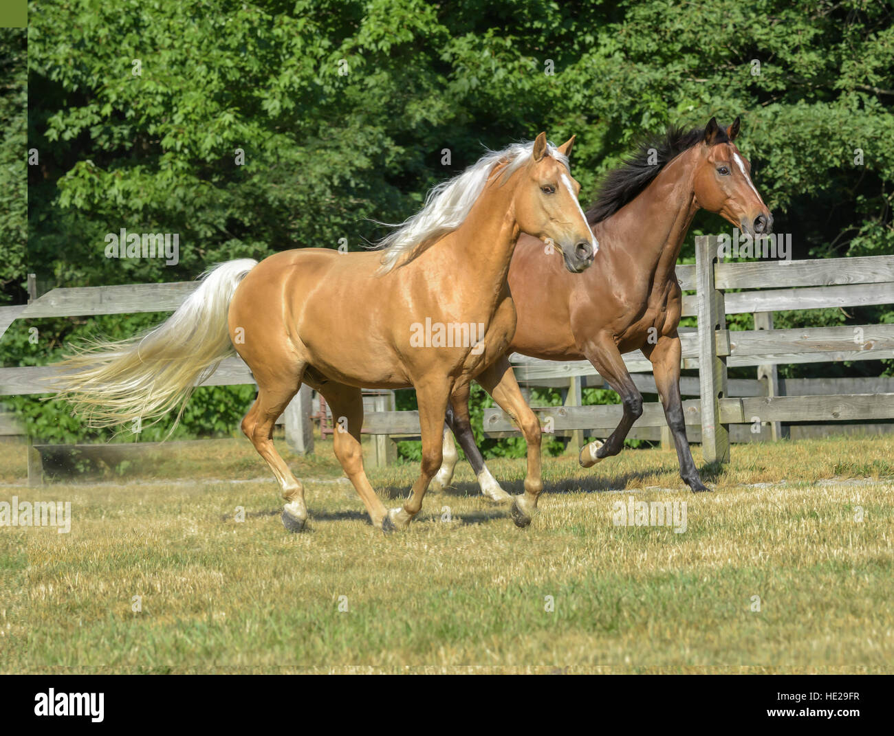 Thoroughbred and Tennessee Walking Horse geldings - Stock Image