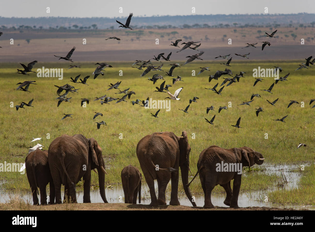 Group of elephant going to drink in the swamp area in Tanragire national park. The elphant are overflying by numerous - Stock Image