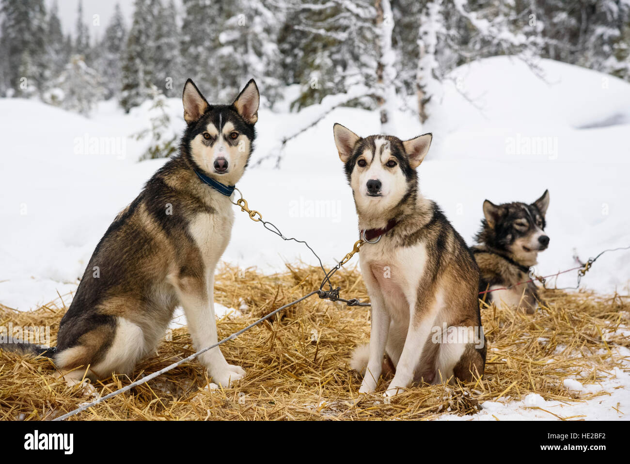Husky dogs, Dog sledding in Vindelfjällen, Sweden - Stock Image
