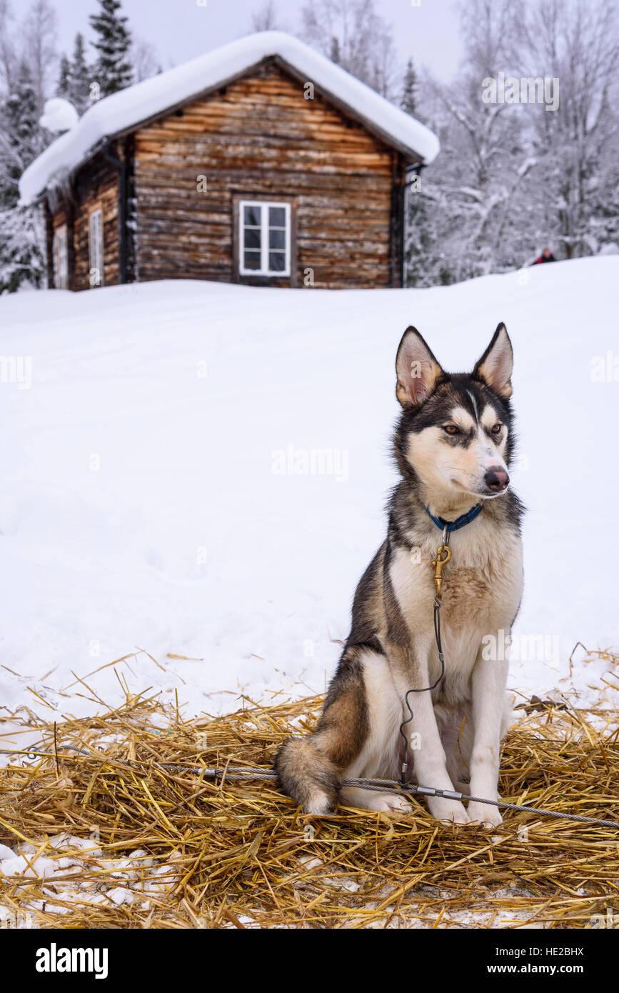 Husky dog and log cabin, Dog sledding in Vindelfjällen, Sweden - Stock Image