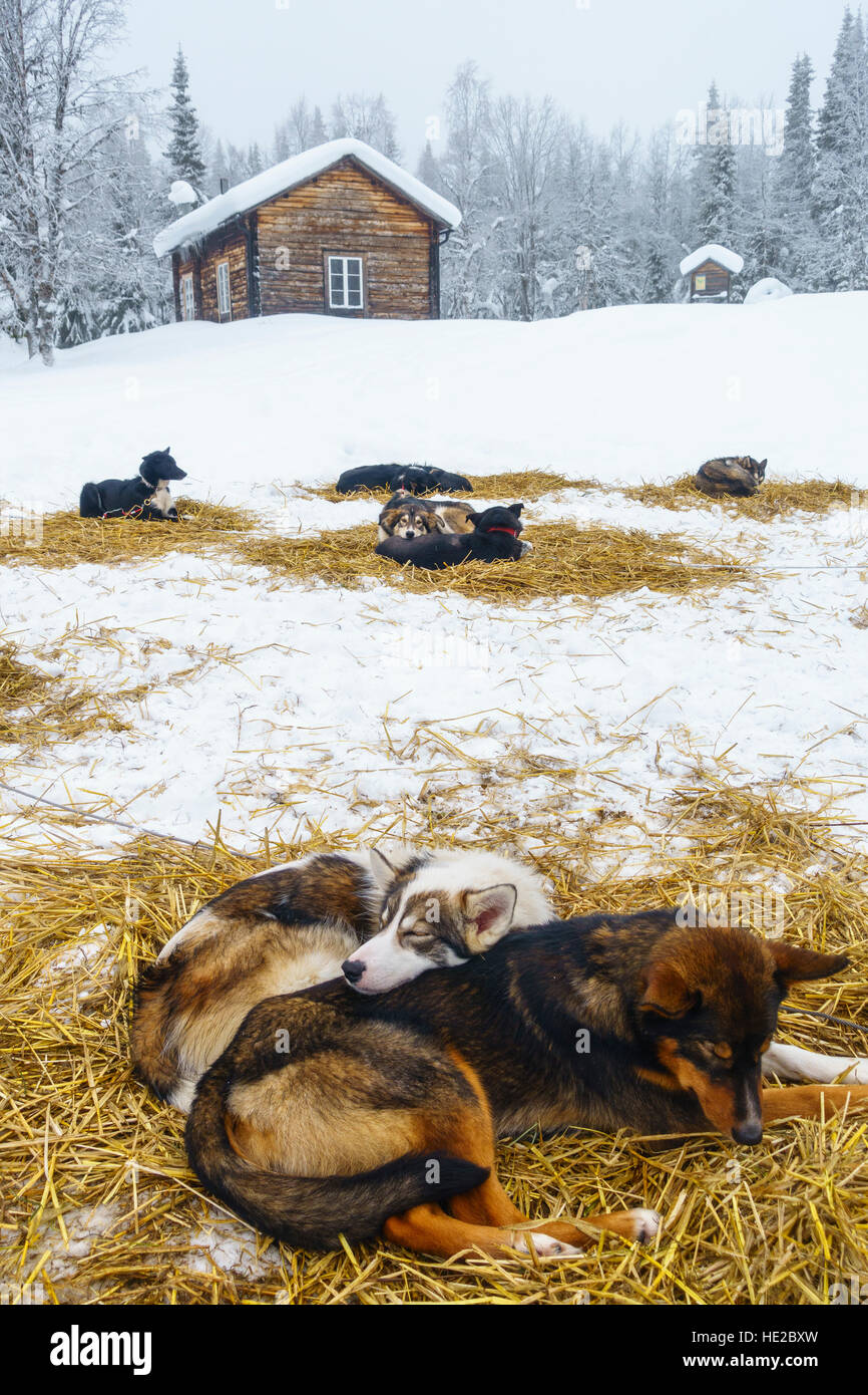 Husky dogs bedded down for the night, Dog sledding in Vindelfjällen, Sweden Stock Photo