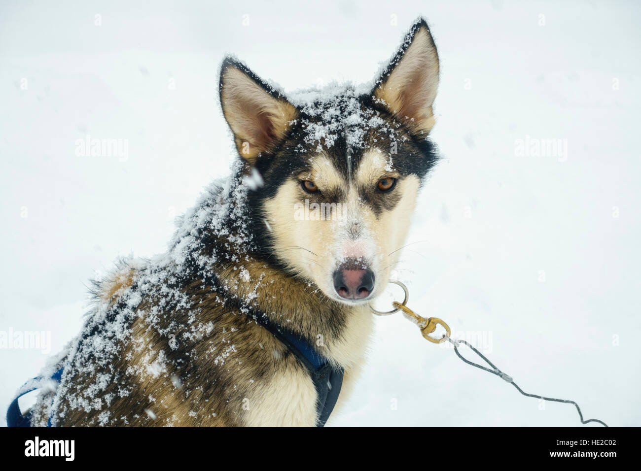Husky dog, Dog sledding in Vindelfjällen, Sweden - Stock Image
