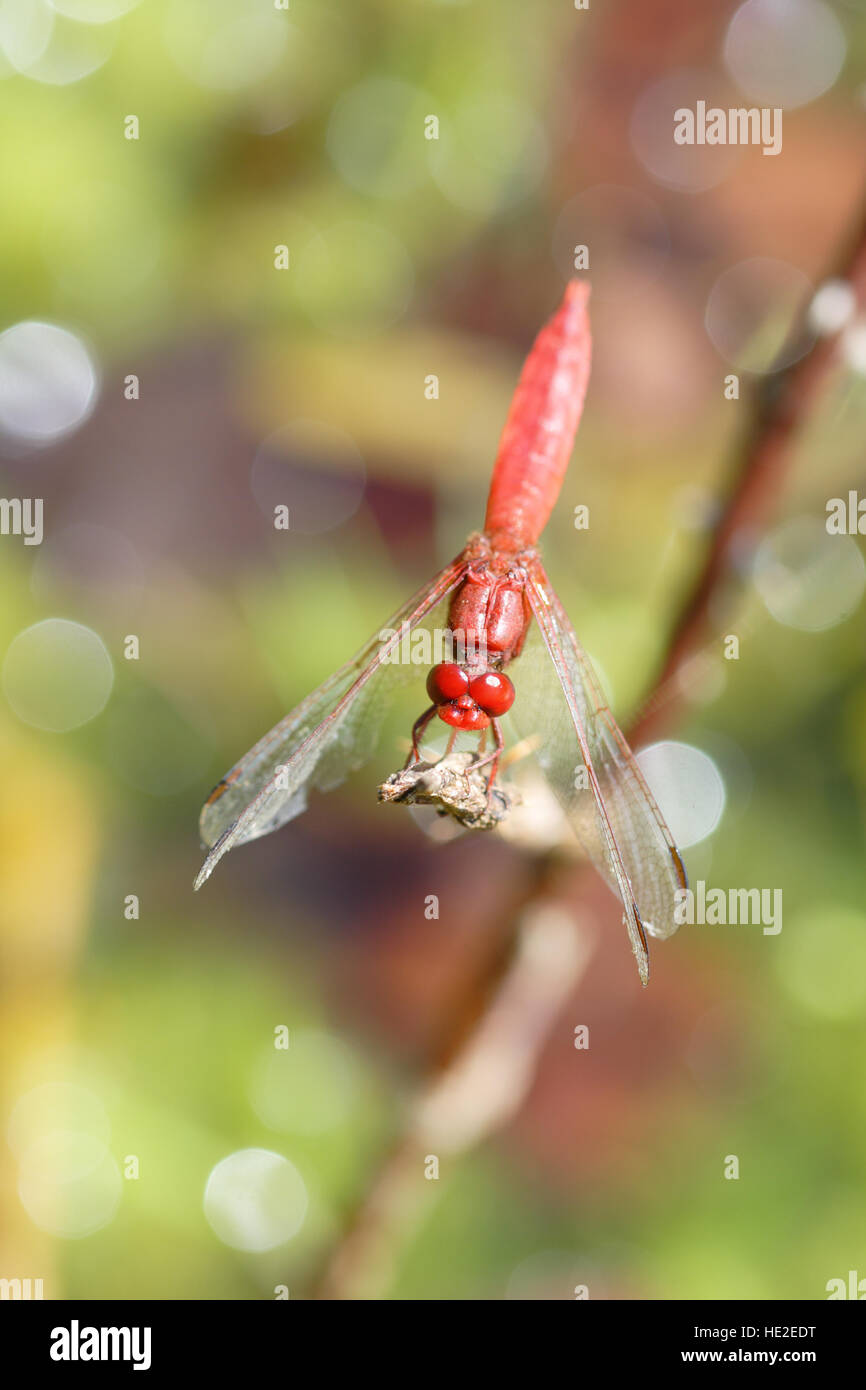 Scarlet Dragonfly on colorful background with lights Stock Photo