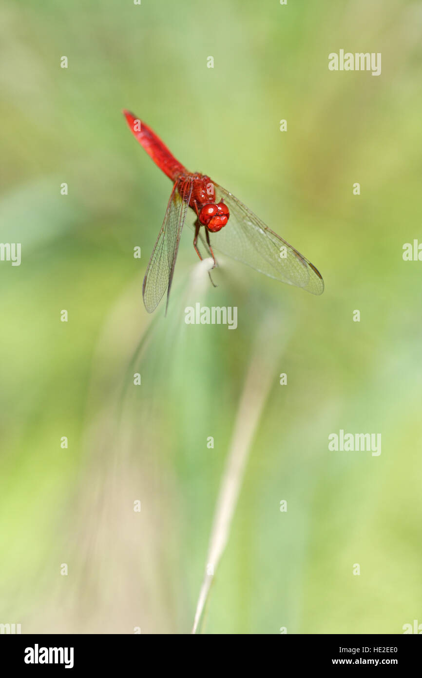 Scarlet Dragonfly on green background Stock Photo