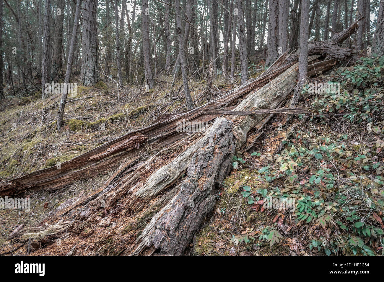 A fallen tree trunk, split open and decaying, lies on a mossy hillside in a Douglas fir forest in British Columbia. - Stock Image