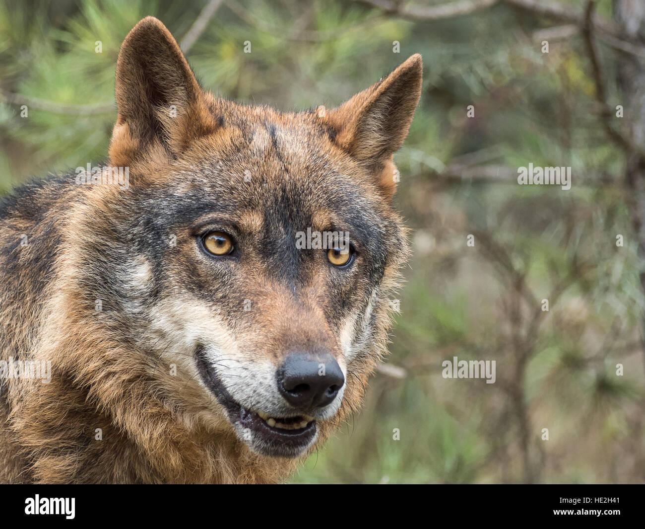Cute iberian wolf portrait (Canis lupus signatus) with beautiful eyes - Stock Image