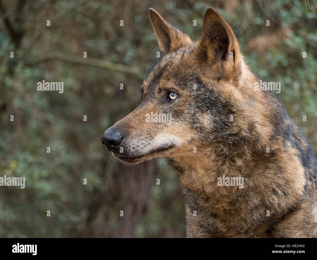 Iberian wolf portrait (Canis lupus signatus) - Stock Image
