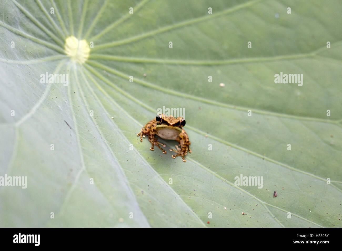 White-lipped Frog, Hylarana (Chalcorana)  labialis - Stock Image