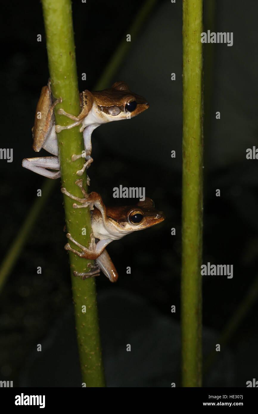 Dark-eared Tree Frog, Polypedates macrotis, two at night - Stock Image