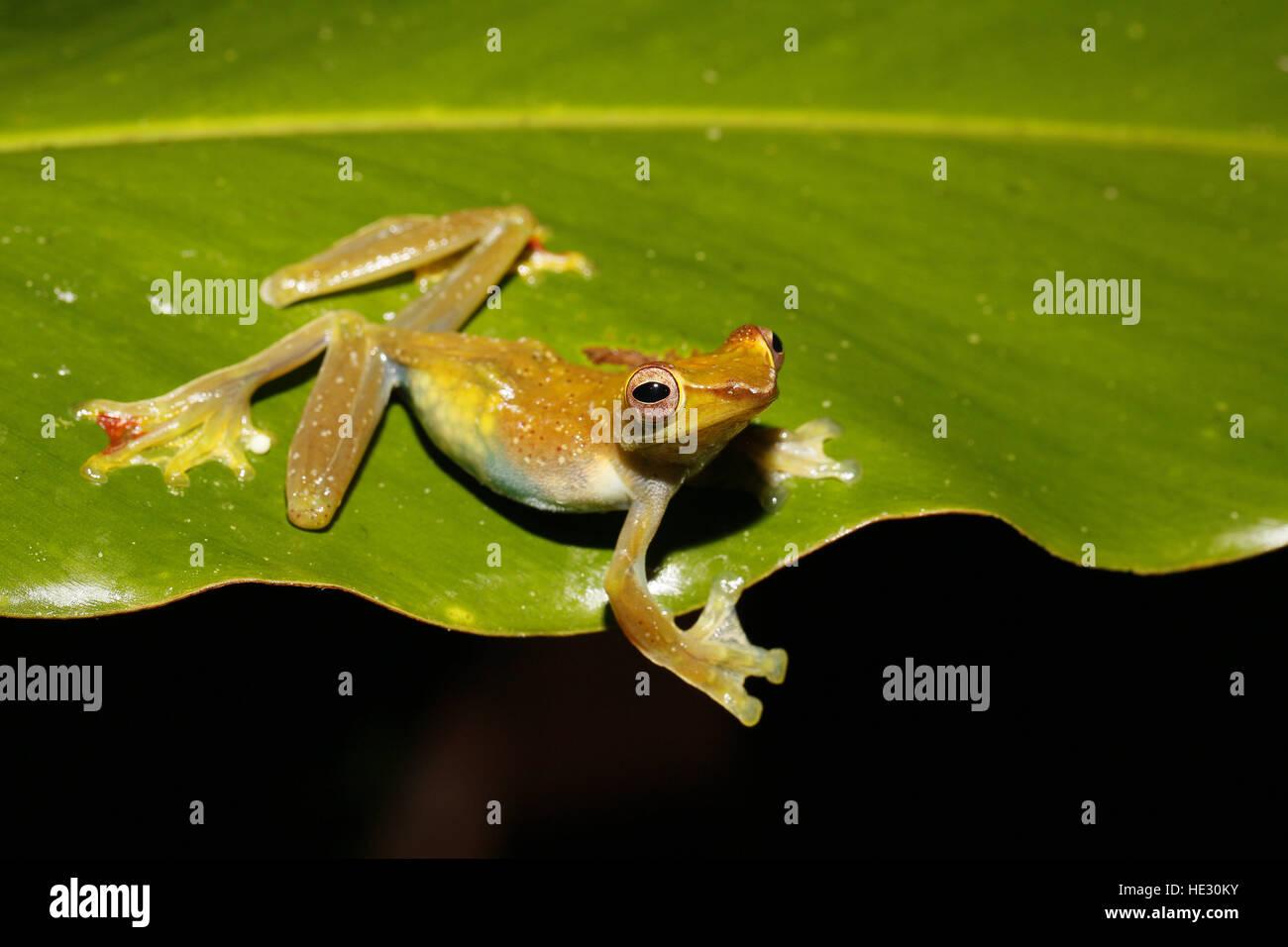 Jade Tree Frog, Rhacophorus dulitensis, female with eggs visible through skin - Stock Image