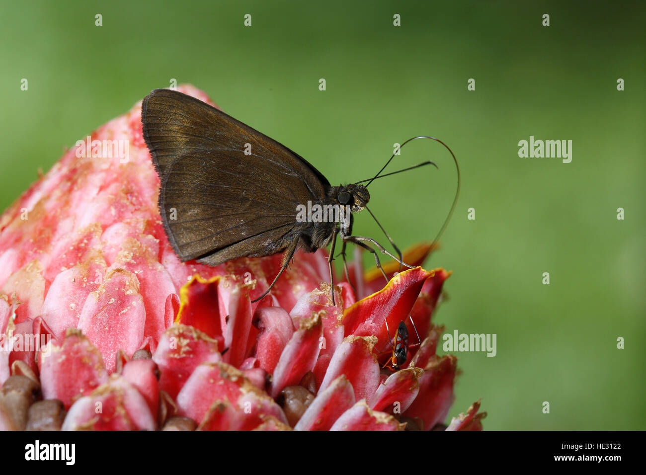 Chocolate Demon Butterfly, Ancistroides nigrita maura, on Ginger flowers Stock Photo