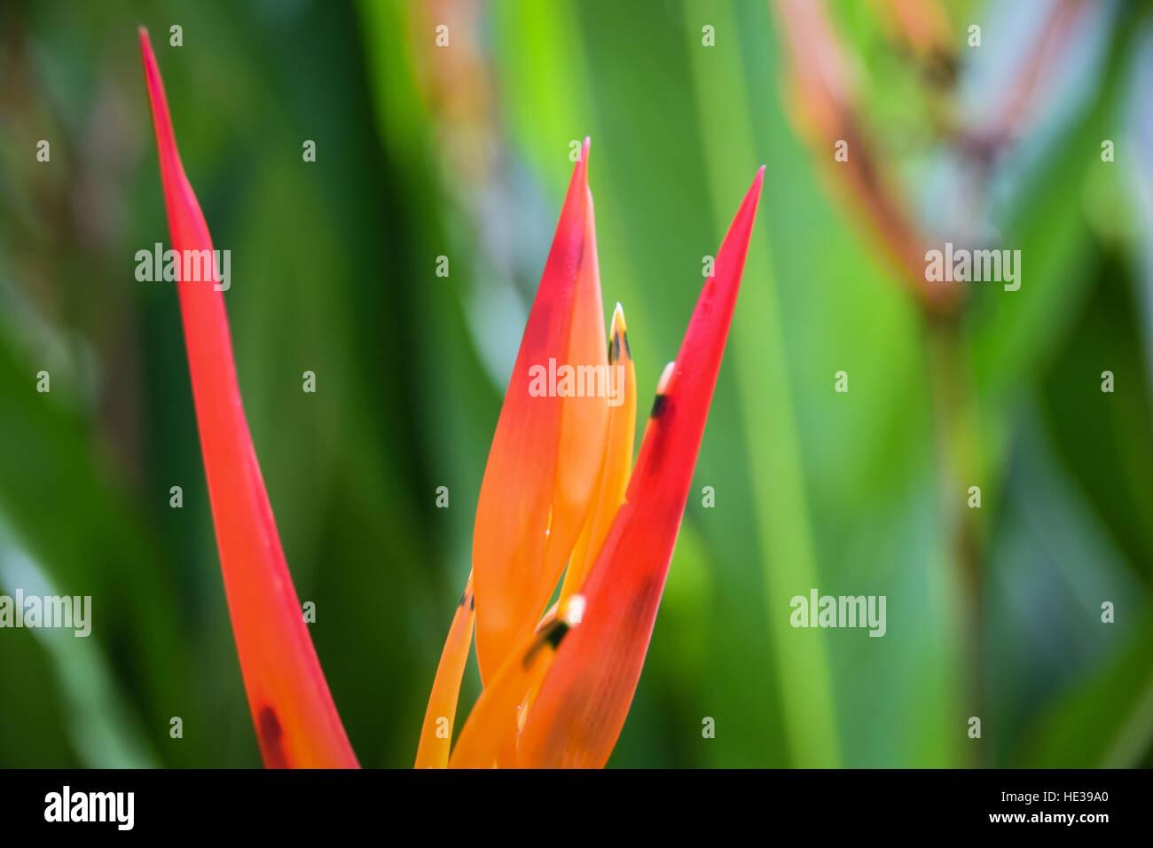 Orange Parrot Heliconia flower - Guanacaste Costa Rica - Stock Image
