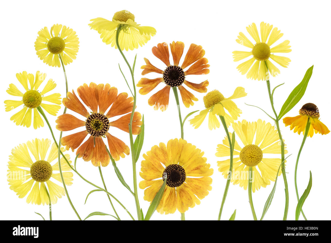 An arrangement of Helenium flowers on a white background - Stock Image