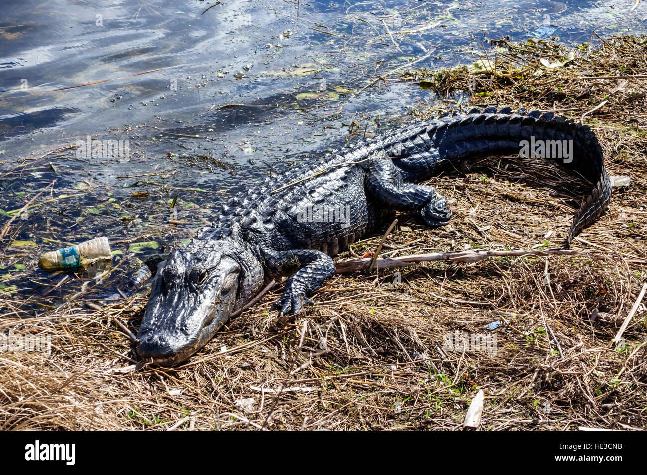 Everglades Florida Alligator Alley American alligator Alligator mississippiensis resting sunning plastic bottle Stock Photo