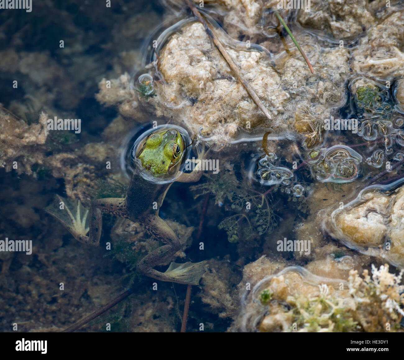 Pig Frog (Rana grylio) in shallow water, Everglades National Park - Stock Image