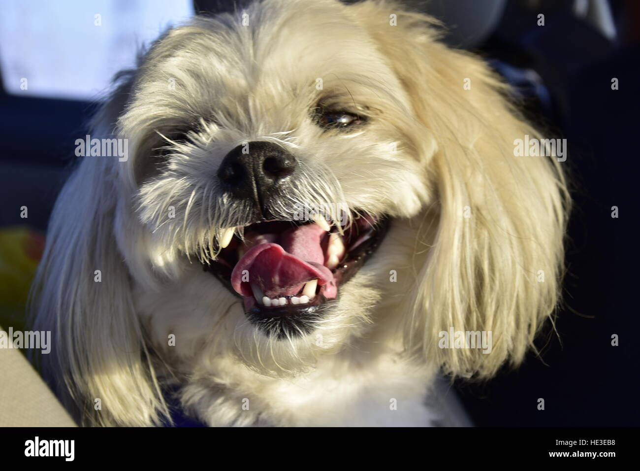 white hairy dog maltese smiling happy puppy pet housepet - Stock Image