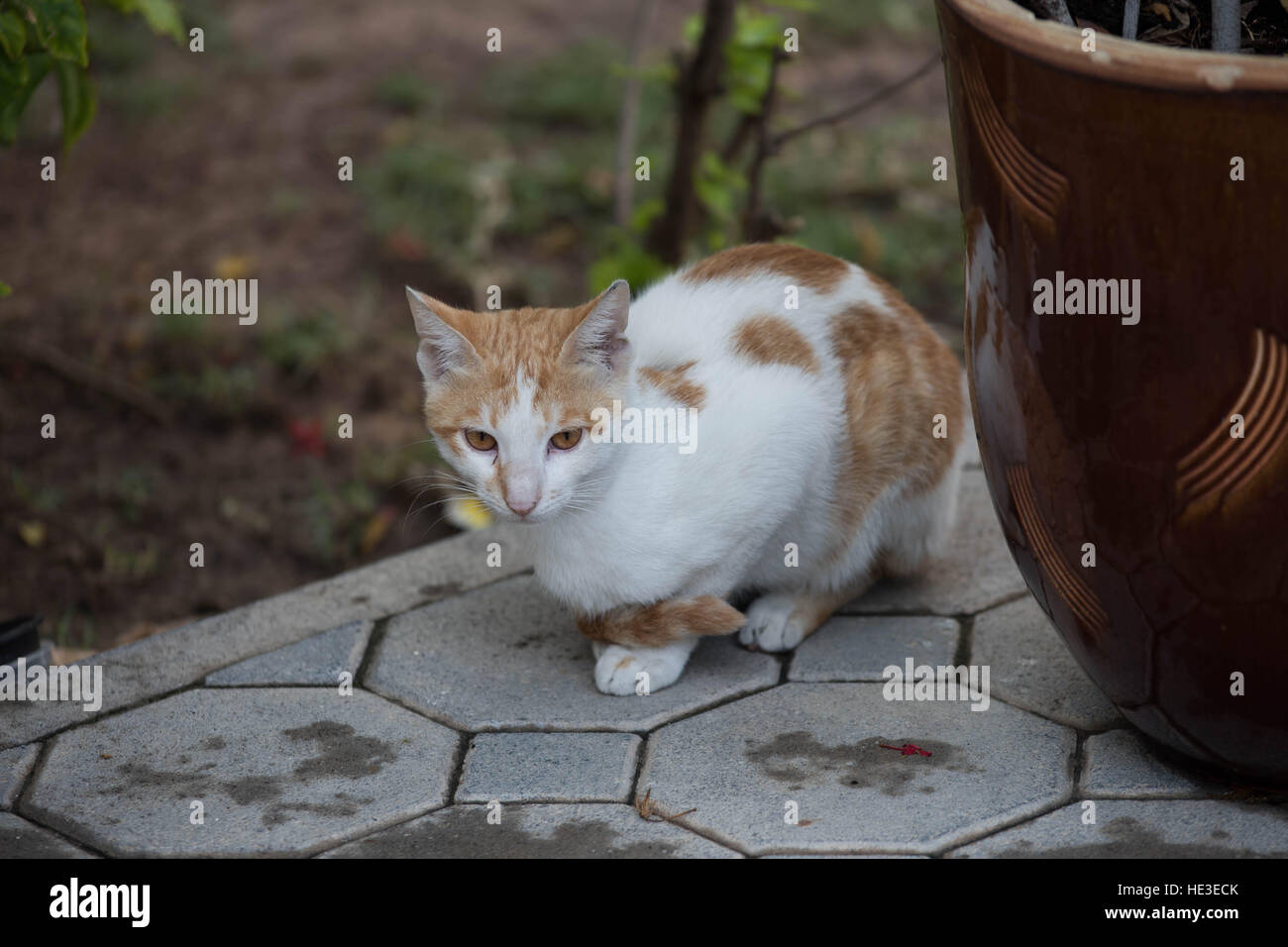 Domestic Cat Feline Kitty Kitten Black Brown White Whiskers Cute Pet Housepet Straycat Stipes Spots Poptime Paws - Stock Image