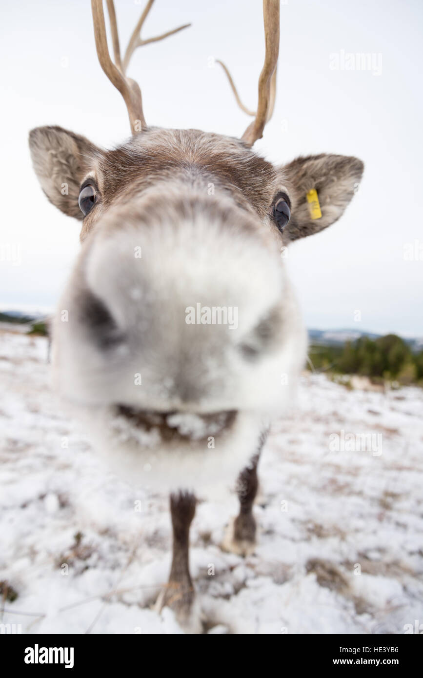 Young reindeer from a managed semi-wild herd on the slopes of the Cairngorms National Park, Scotland, UK - Stock Image