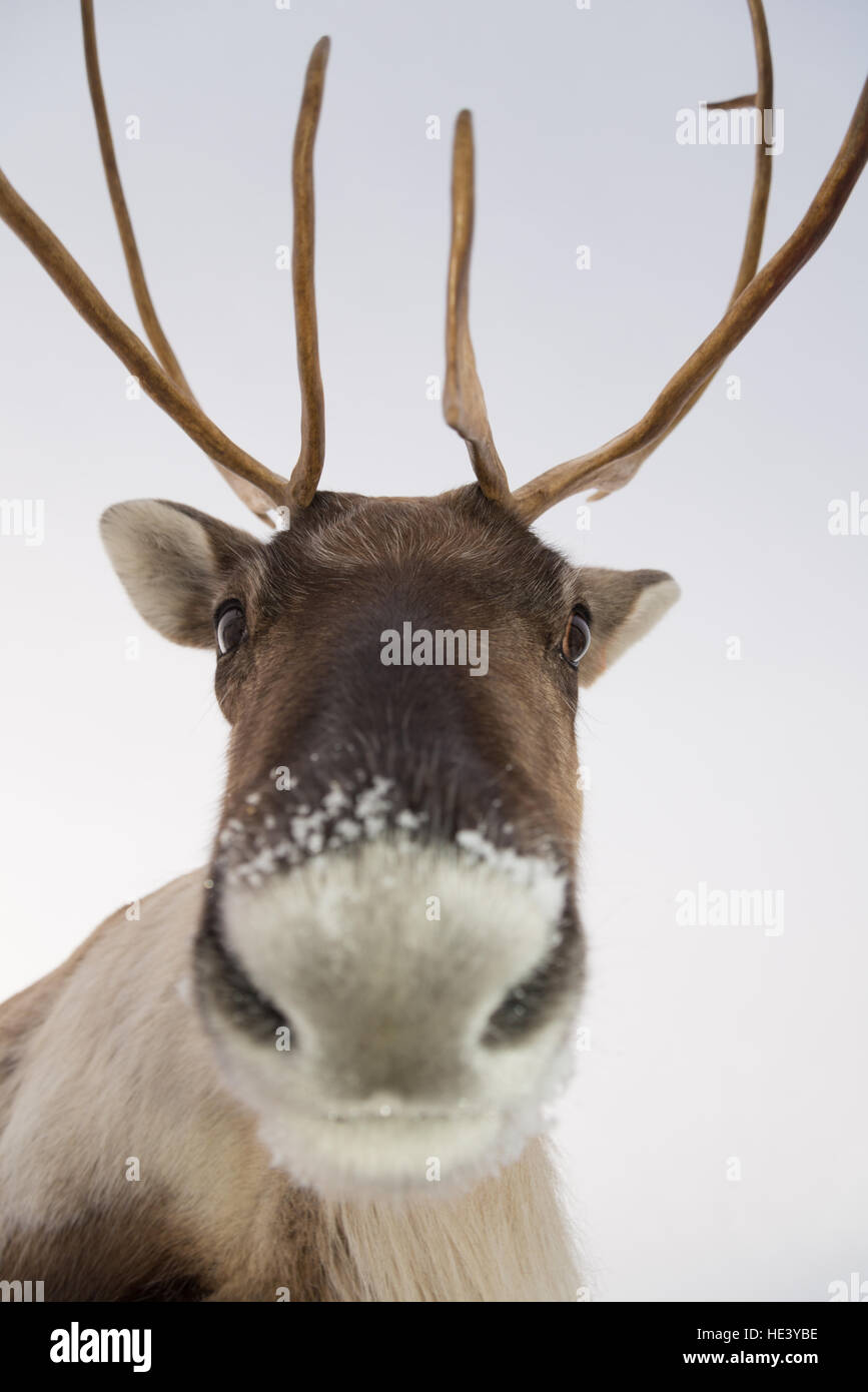 Female reindeer from a managed semi-wild herd on the slopes of the Cairngorms National Park, Scotland, UK - Stock Image
