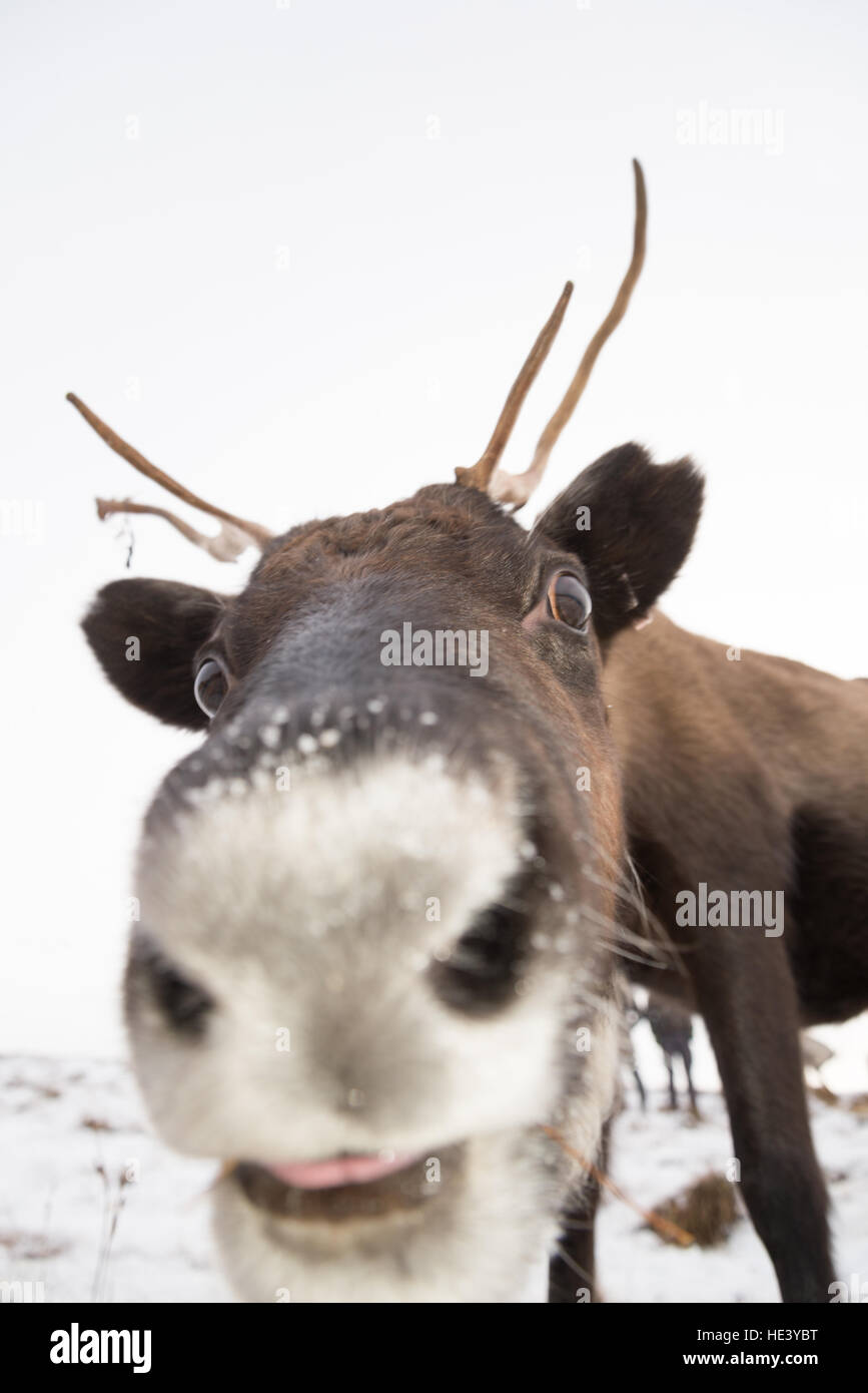 Reindeer from a managed semi-wild herd on the slopes of the Cairngorms National Park, Scotland, UK - Stock Image