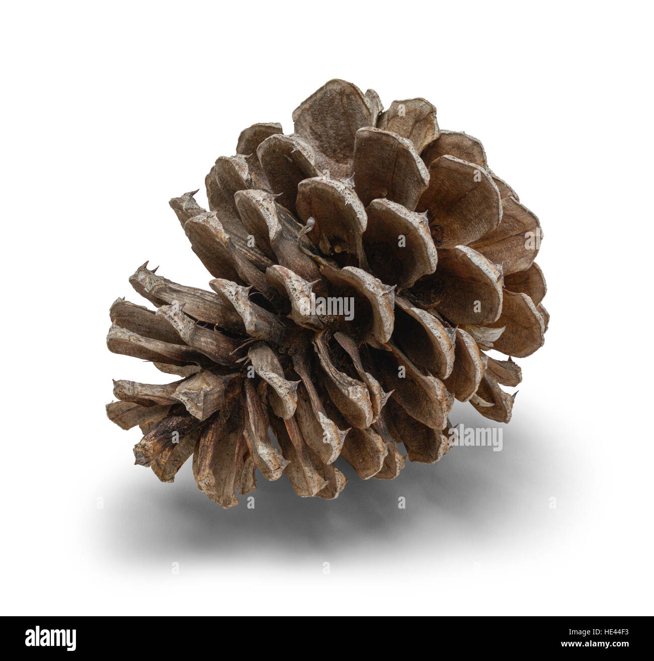 One Small Pine Cone Isolated on White Background. - Stock Image