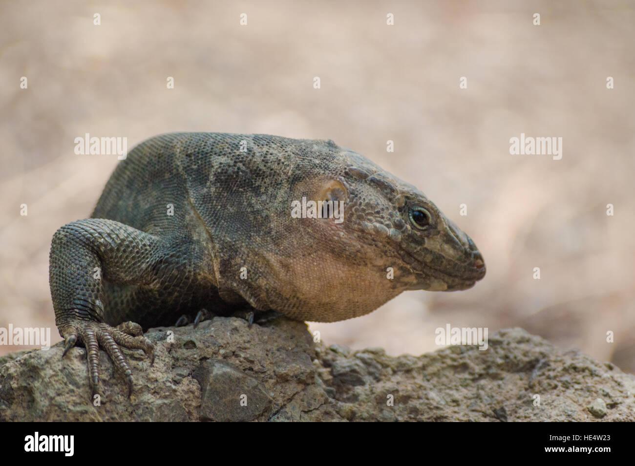 Lizard Basking on the rocks - Stock Image