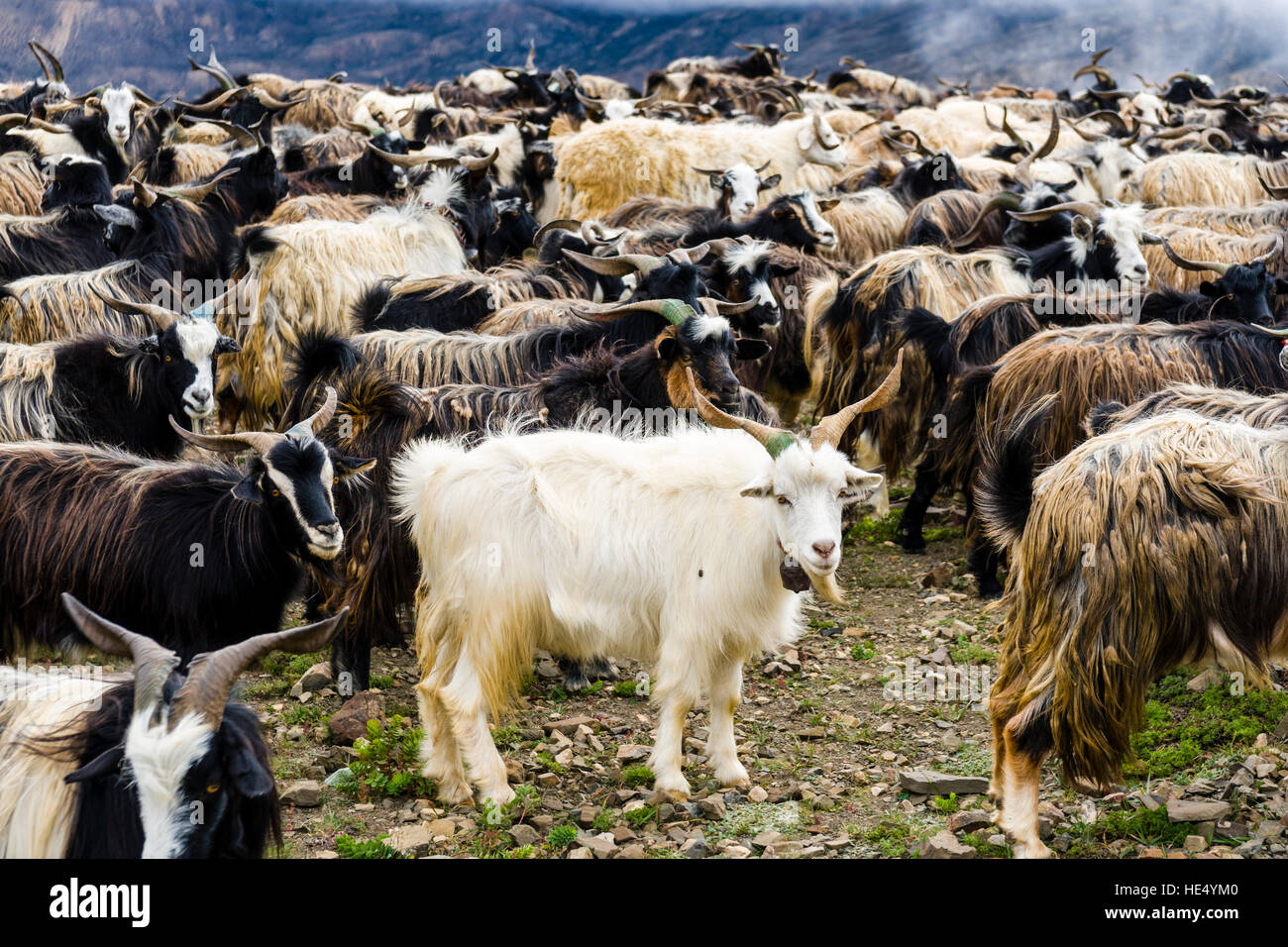 A herd of goats is moving on the search of food in the barren landscape of Upper Mustang - Stock Image