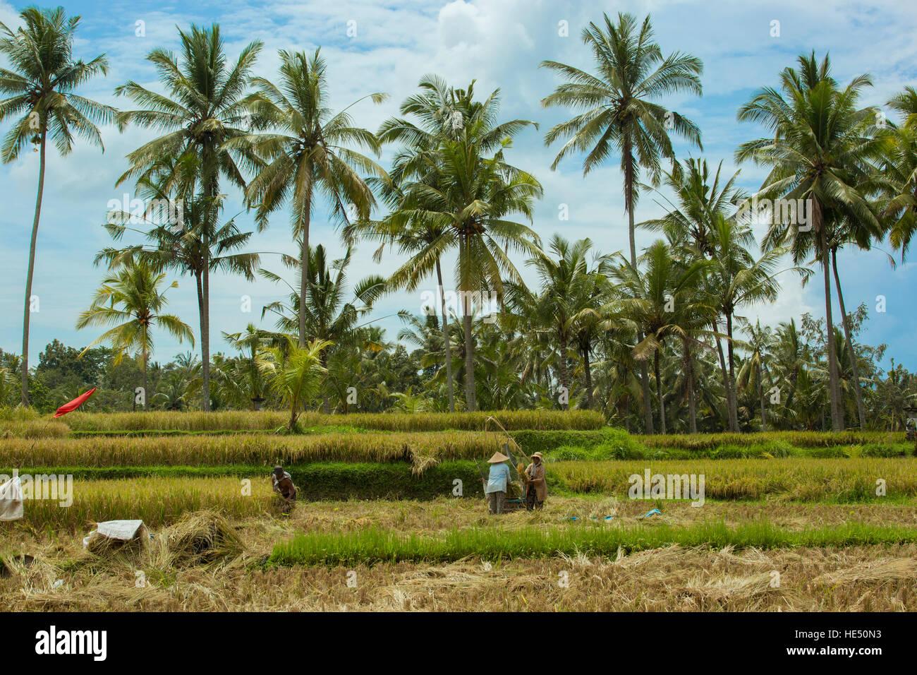 harvest in Tegallalang,ubud Bali - Stock Image