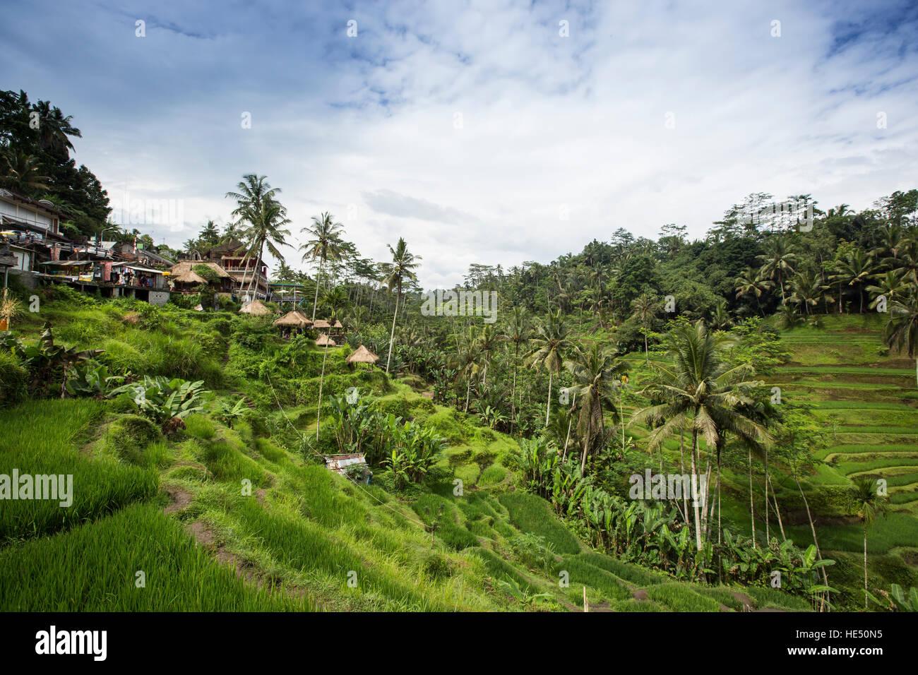 rice terraces in Tegallalang, Ubud, Bali - Stock Image