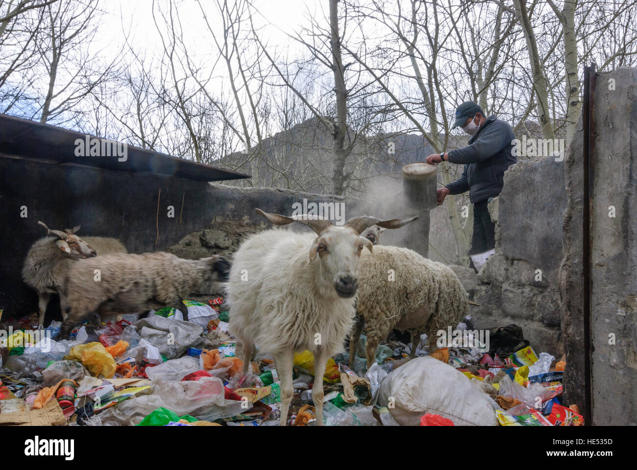 Lhasa: Sheep on a search for food in a garbage site, Tibet, China - Stock Image