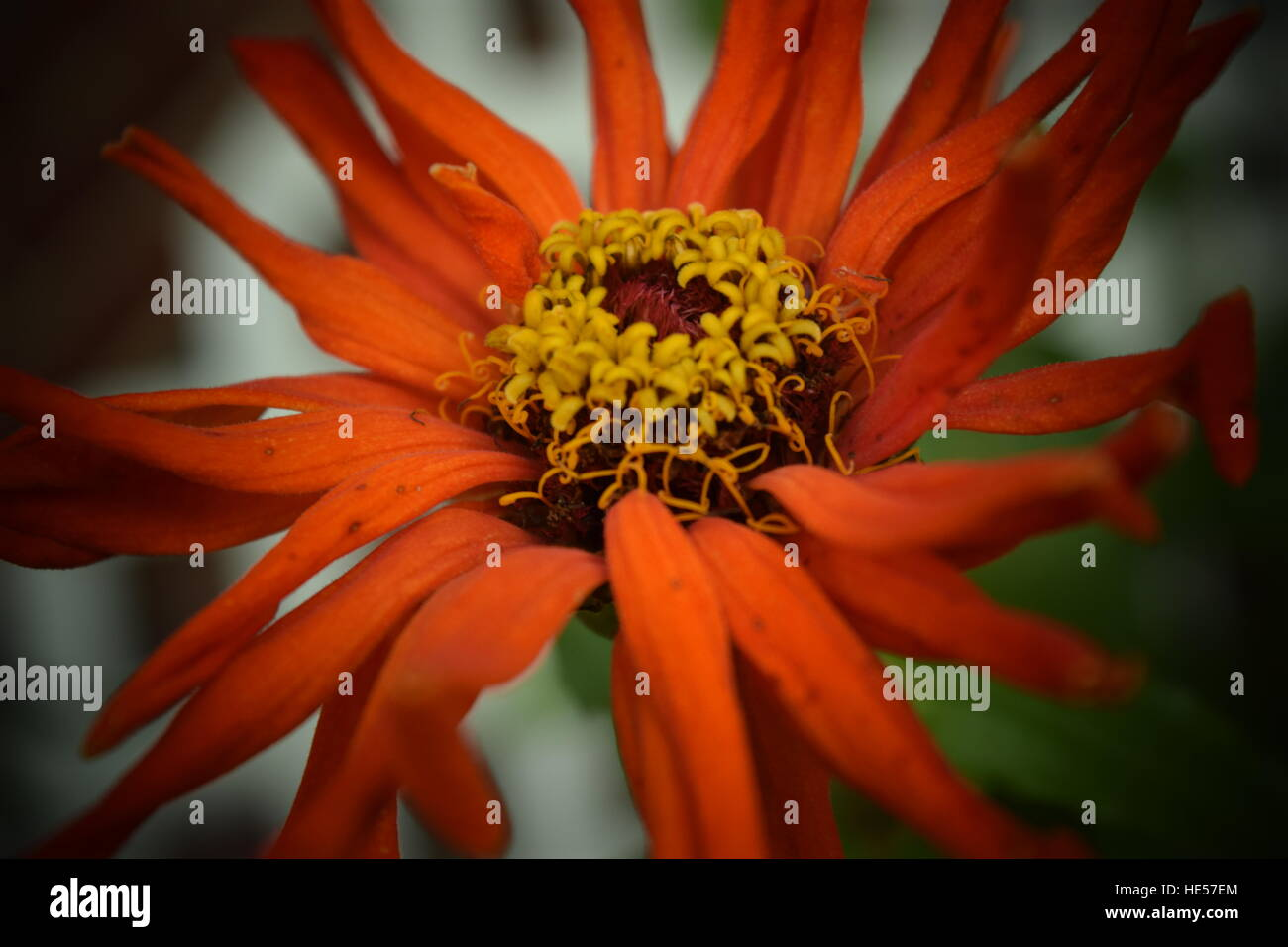 Orange Zinnia Flower With Yellow Center Stock Photos Orange Zinnia