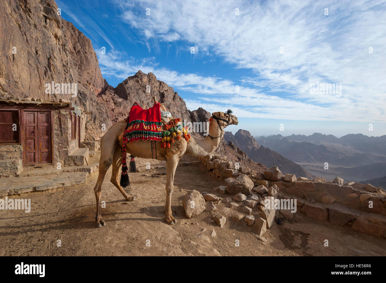 Camel looking out at Mount Sinai in Egypt - Stock Image