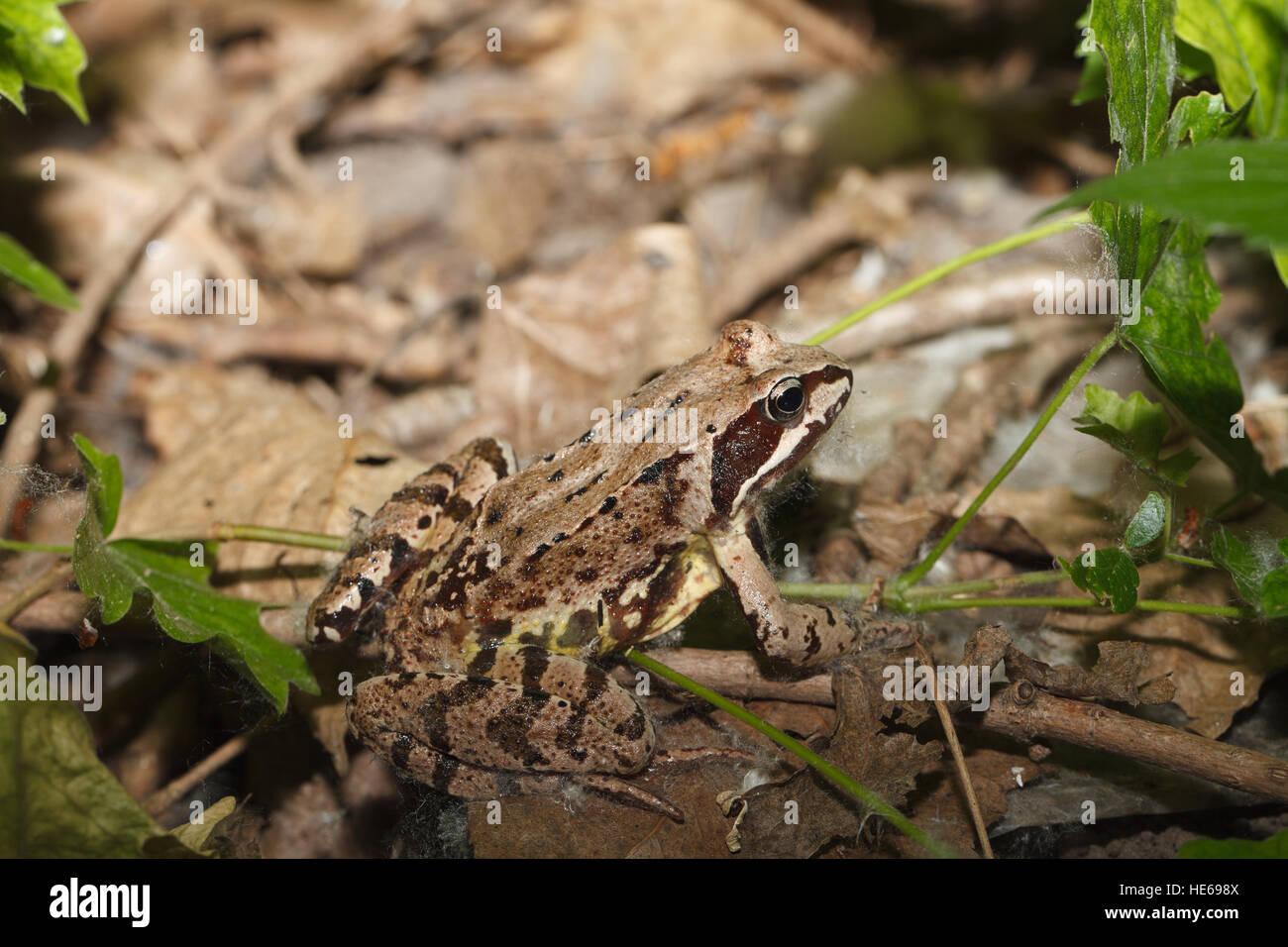 Rana temporaria frog closeup on the ground. horizontal - Stock Image