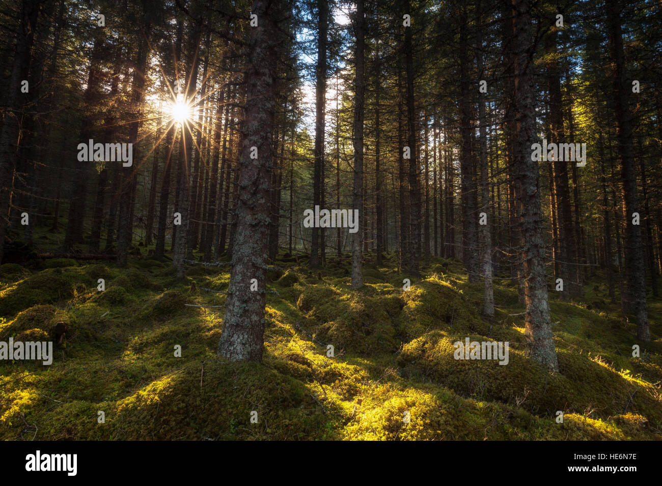 Light in the boreal forest, Norway. - Stock Image
