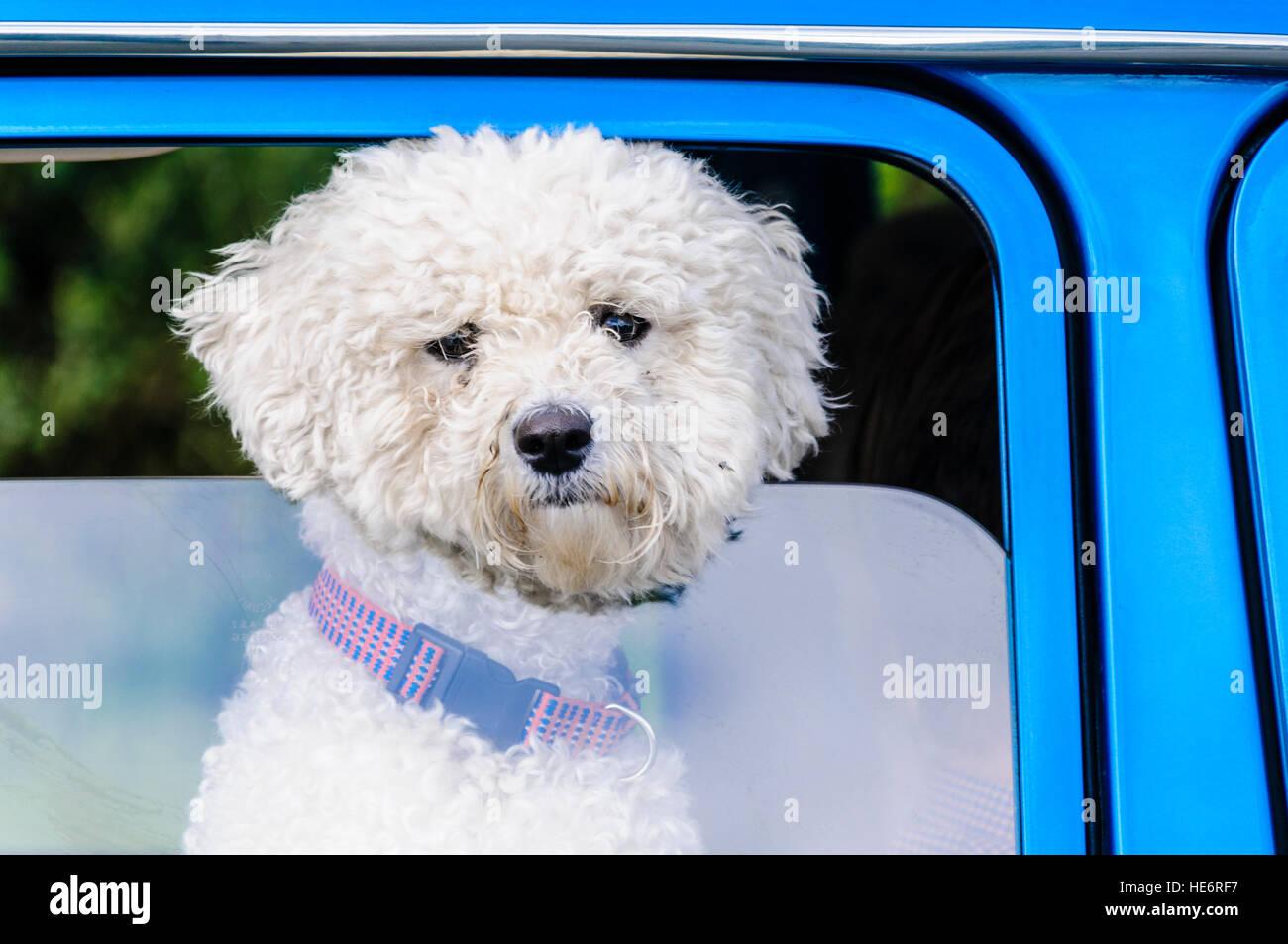 A cute bichon frise dog pokes his head through a car window. - Stock Image
