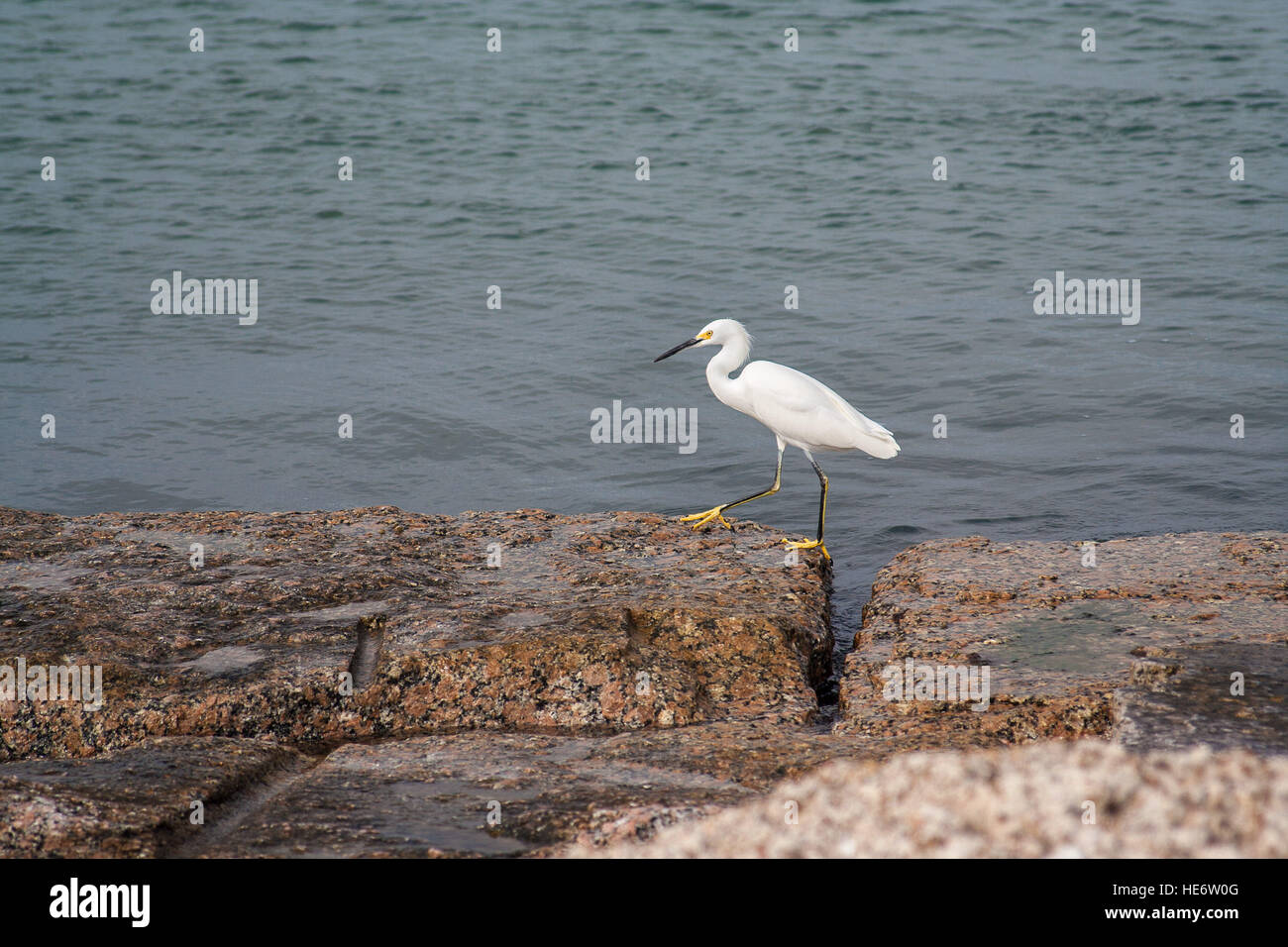 A snowy egret walks along the rocks by the sea - Stock Image