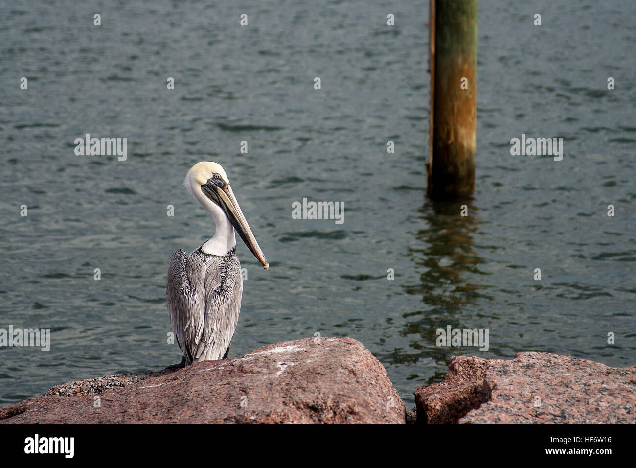 A Pelican sits on the rocks by the water - Stock Image