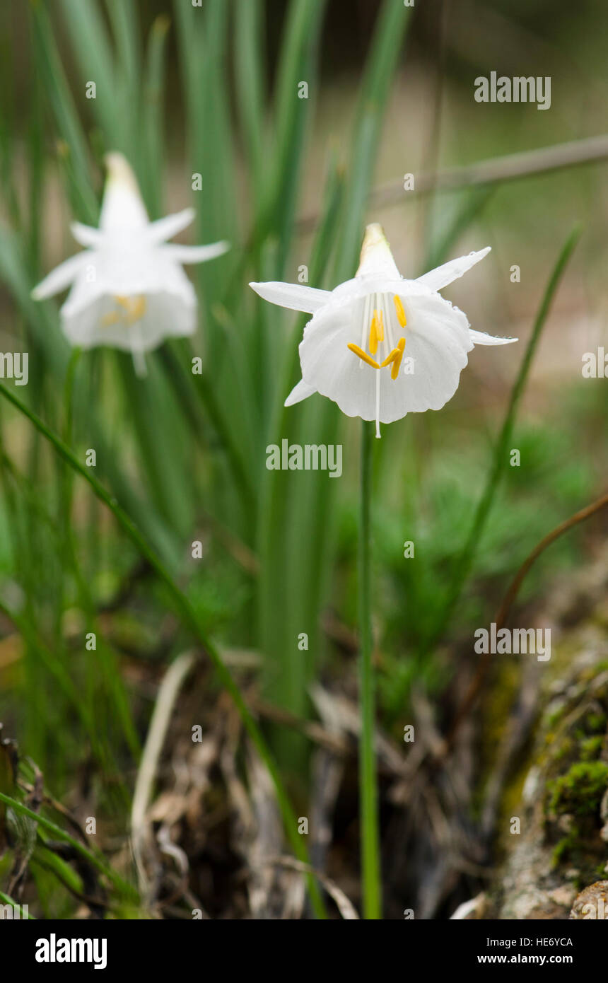 Narcissus cantabricus,White Hooped-Petticoat, flowering in winter in Andalusia, Spain. - Stock Image