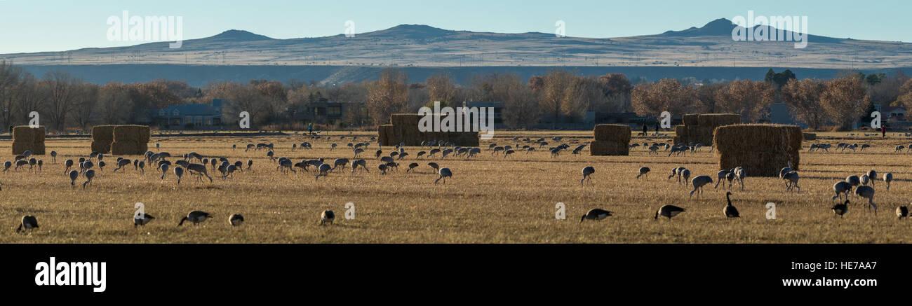 Sandhill Cranes, (Grus canadensis), Los Poblanos Open Space, Albuquerque, New Mexico, USA. - Stock Image