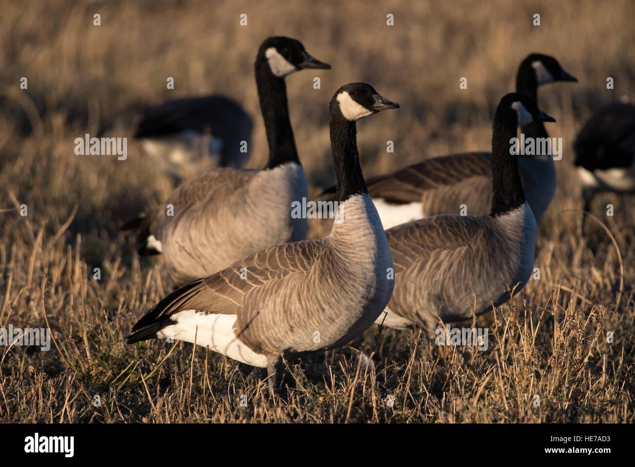 Canada Geese, (Branta canadensis), Los Poblanos Open Space, Albuquerque, New Mexico, USA. - Stock Image